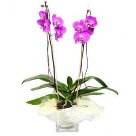 Orhidee phalaenopsis roz
